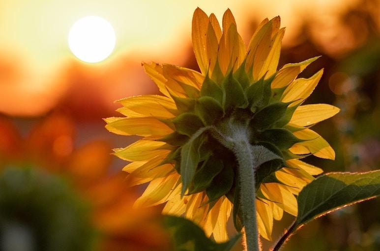 Sonnenblume mit liebevollem Sonnenuntergang gehüllt in warmes Licht