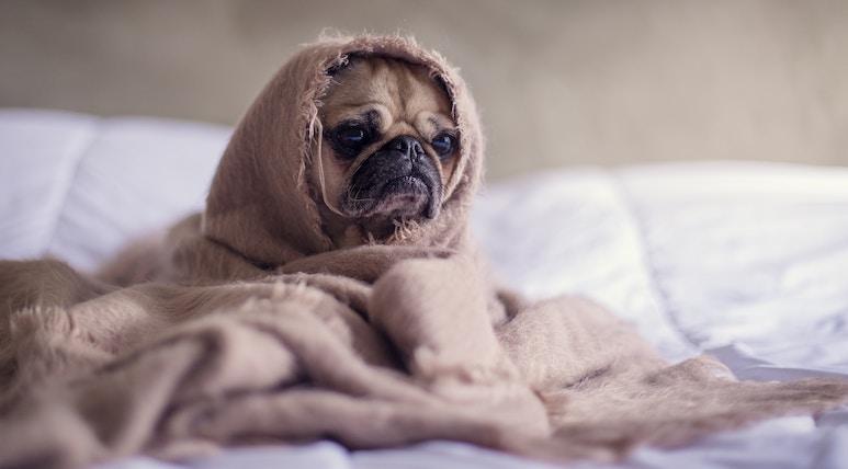 Hund mit Decke umhüllt